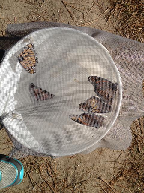 5 new monarchs